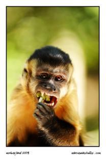 Squirrel monkey eating fruit at monkeyland photographed by Marcus Maschwitz