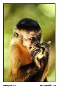 monkey eating fruit at monkeyland photographed by Marcus Maschwitz