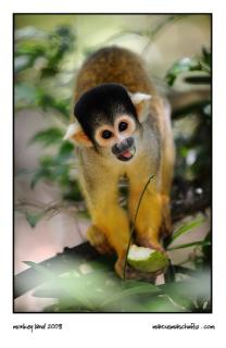 squirrel monkey eating fruit and staring at monkeyland photographed by Marcus Maschwitz