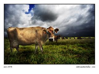 cows feeding in a field on the way to george on the garden route photographed by marcus maschwitz