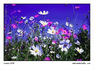 Cosmos growing near Bronkhorstspruit photographed by Marcus Maschwitz