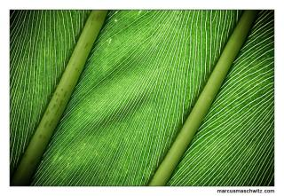 macro photograph of leaves photographed by marcus maschwitz