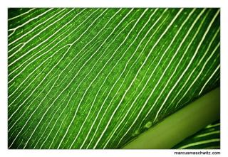 close up of green leaves photographed by marcus maschwitz