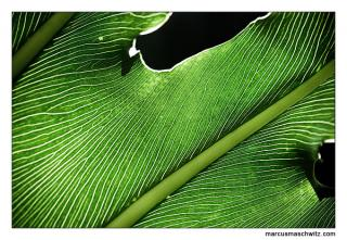 green leaves of an elephant ears plant backlit by the sun photographed by marcus maschwitz