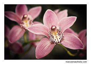 orchid plant up close photographed by marcus maschwitz