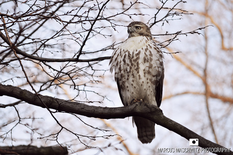 red-tailed-hawk-pale-male